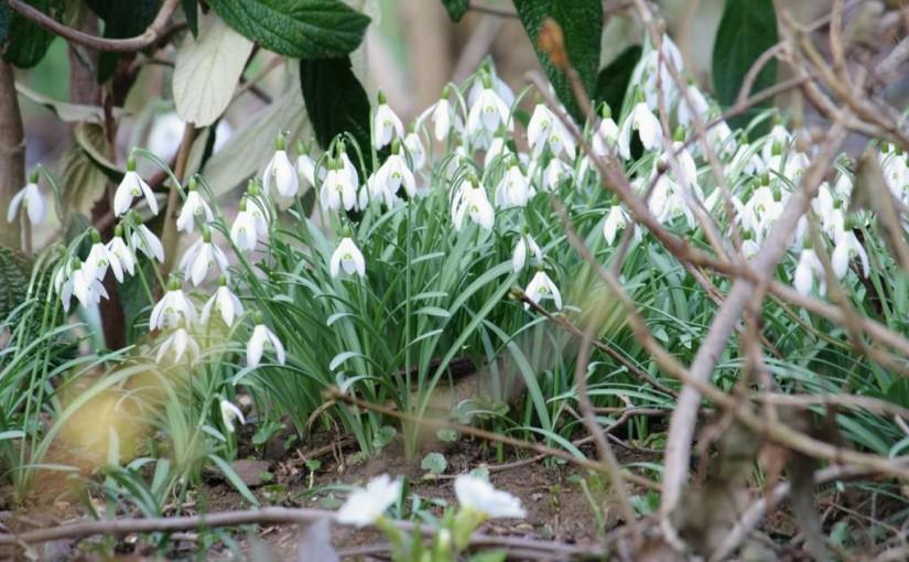 Schneeglöckchen im heimischen Garten