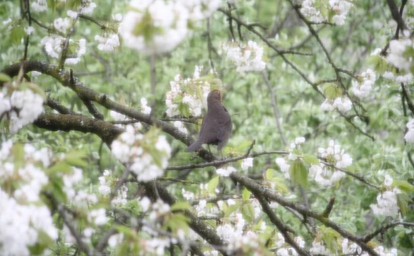 Amselweibchen zur Kirschblüte