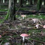 Fliegenpilze im Harzwald